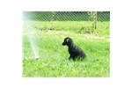 Picture of a Flat Coated Retriever Puppy