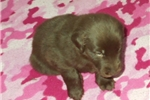 Flat Coated Retriever for sale