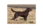 Featured Breeder of Chesapeake Bay Retrievers with Puppies For Sale