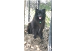 Picture of RARE BLACK KEESHOND