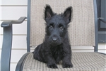Picture of Scottish Terrier Puppy for sale