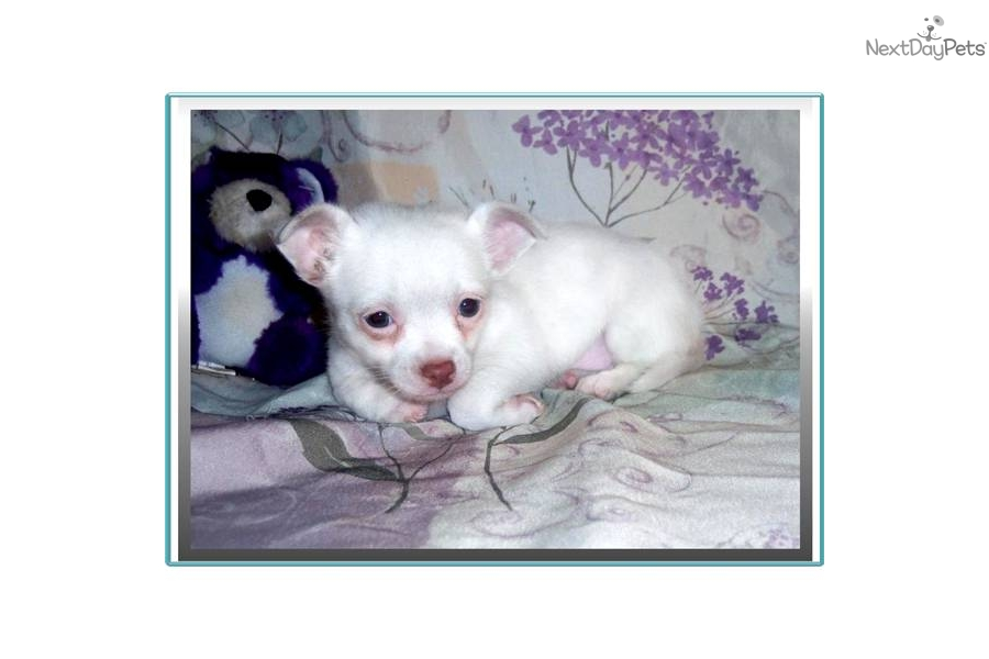 Teacup Long Haired Chihuahua Puppies For Sale In Louisiana | Dog ...