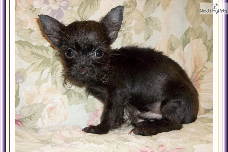 Small Dogs Near Tallahassee Fl For Sale