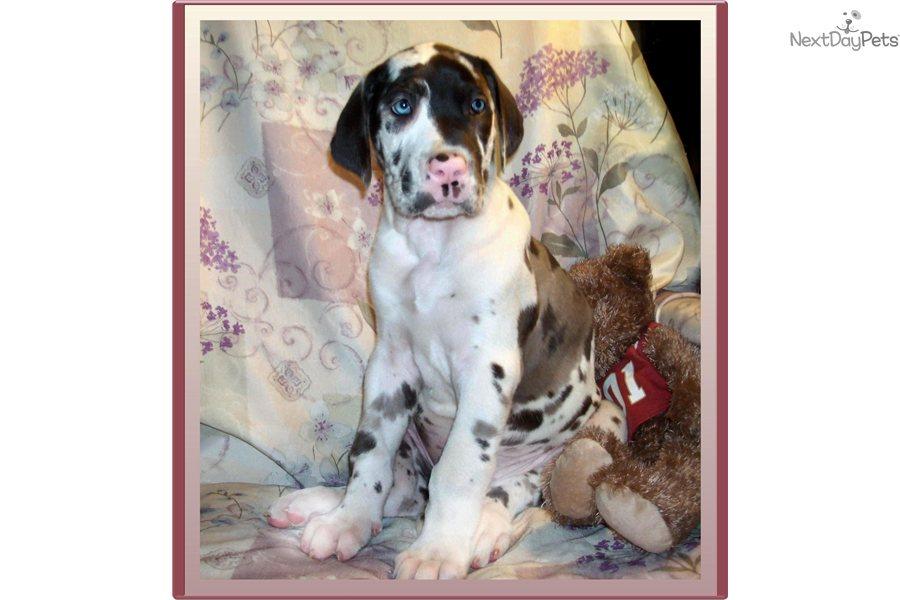 Great dane puppy for sale near tallahassee florida e1e29193 3531