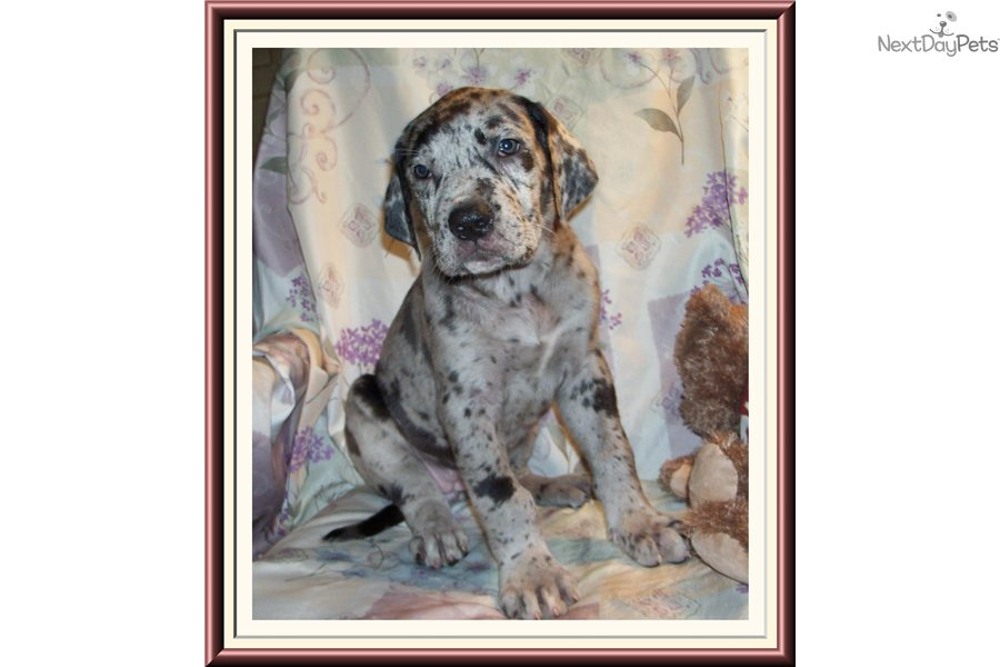 Great dane puppy for sale near tallahassee florida 08ad3c88 6391