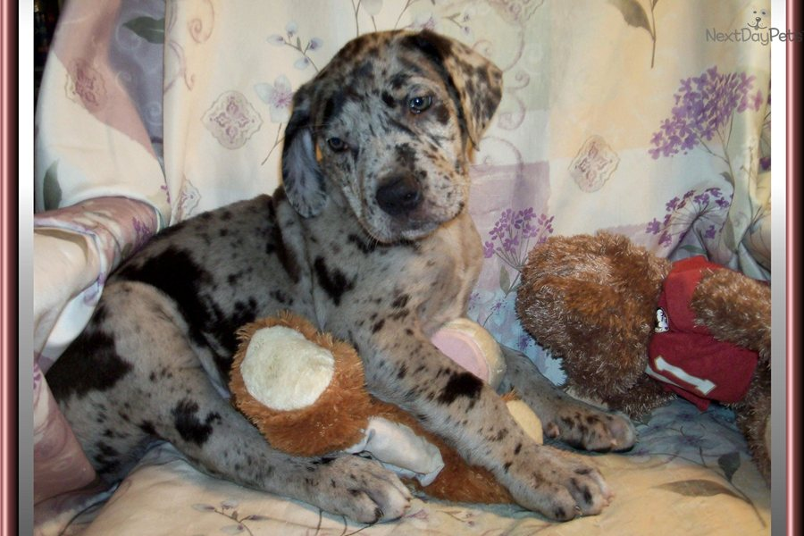 Pics photos great dane puppy for sale beautiful female blue merle