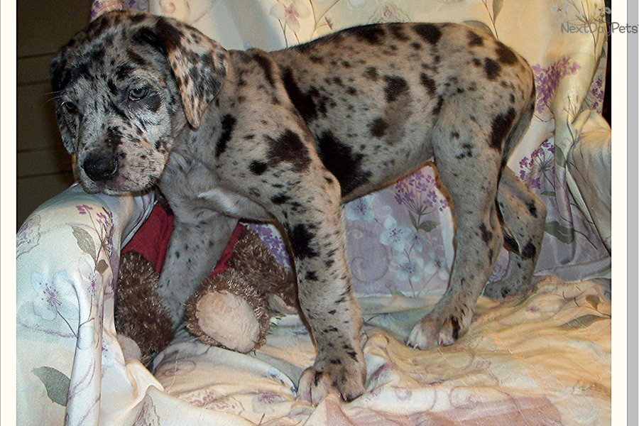 Meet Nikita a cute Great Dane puppy for sale for $900. Beautiful ...