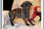Beautiful little Male Bugg | Puppy at 15 weeks of age for sale