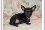 Picture of Very Pretty toy black and white female Chihuahua