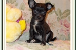 Picture of Beautiful toy sized black and white female Chihuah