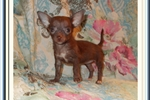 Picture of Precious tiny chocolate female Chihuahua