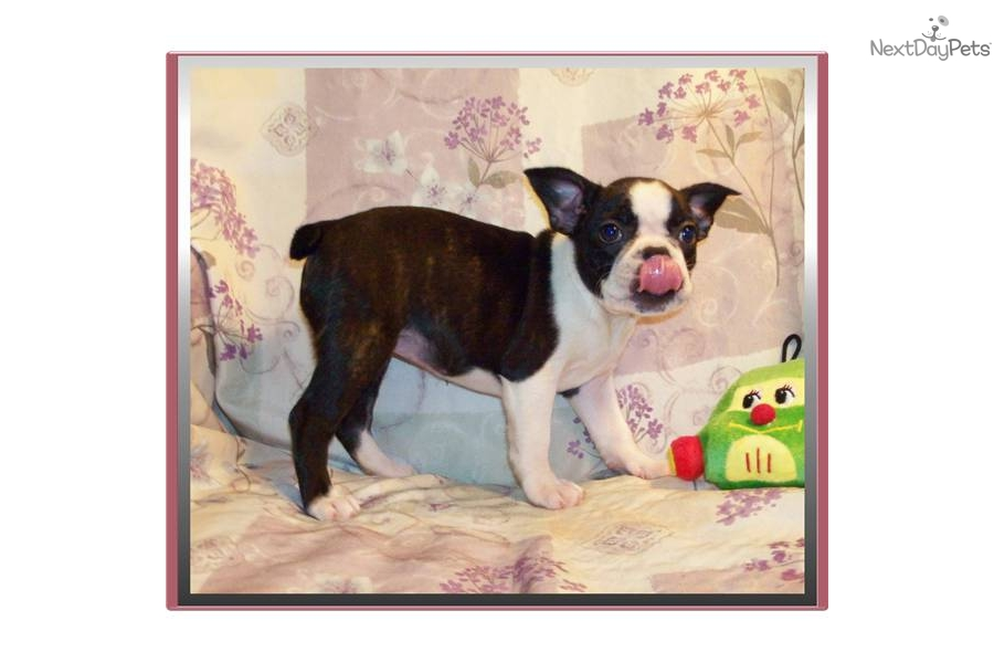 Meet Porsha A Cute French Bulldog Puppy For Sale For 650