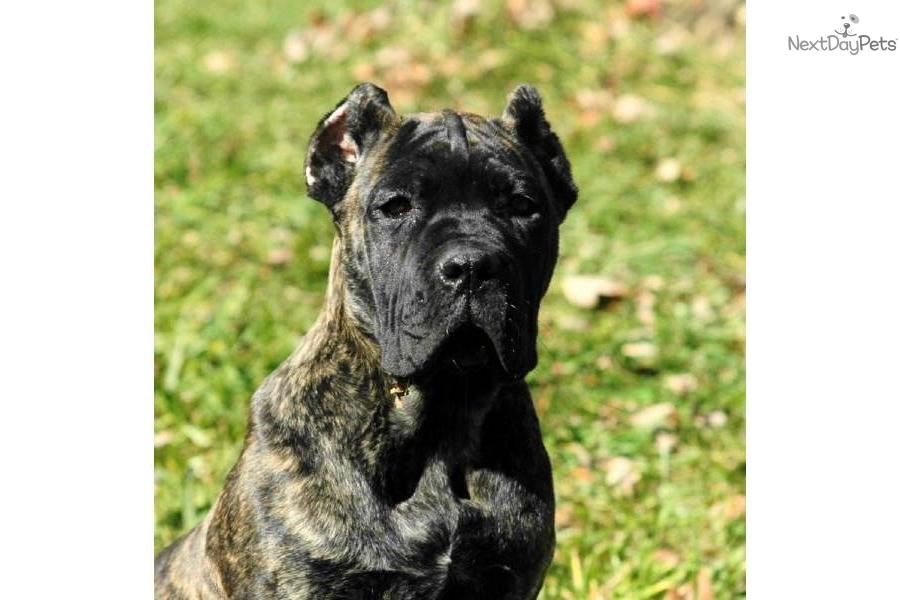 Neapolitan Mastiff Mixed With Cane Corso