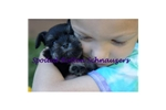 Featured Breeder of Miniature Schnauzers with Puppies For Sale