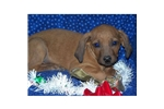 Picture of a Redbone Coonhound Puppy