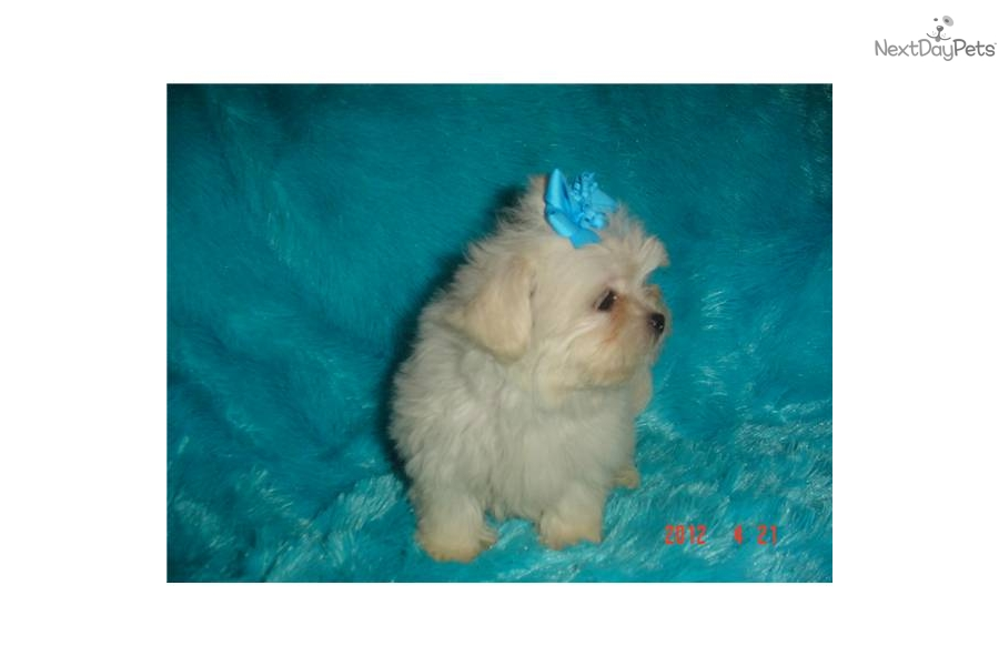 Meet Buffy A Cute Shih Poo Shihpoo Puppy For Sale For