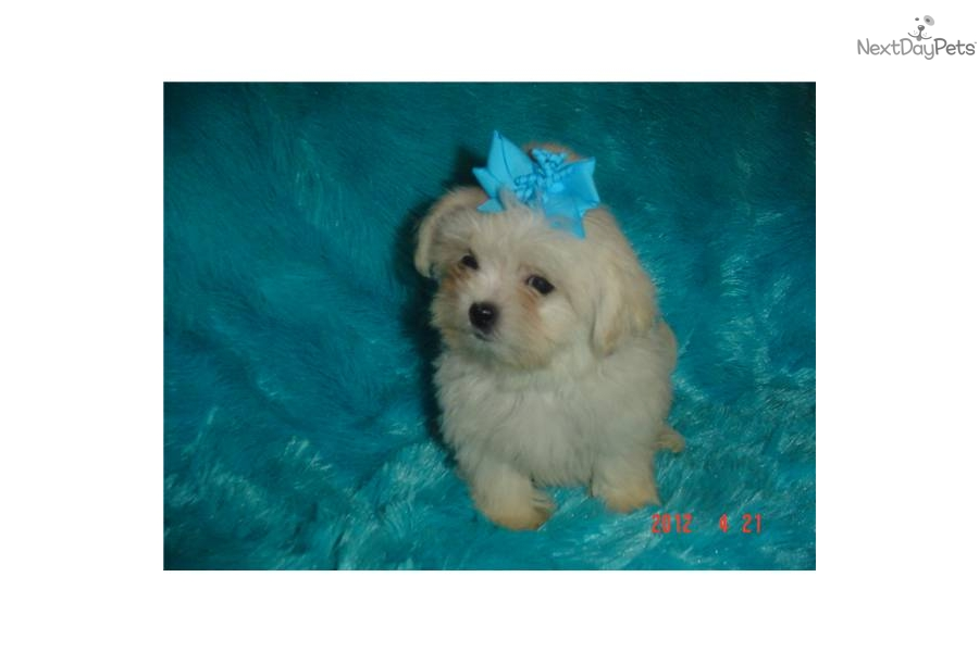 meet buffy a cute shihpoo shihpoo puppy for sale for