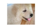 Picture of Kuvasz Puppy for sale
