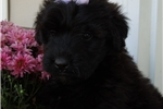 Picture of AKC BIG solid Black female Very loving & loyal