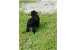 Picture of AKC gorgeous Solid black female Laid Back