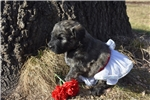 Picture of AKC Silver fawn girl Ready to go in March