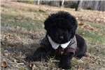 Picture of AKC solid black male, Very relaxed Loving boy
