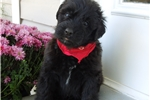 Picture of AKC Stocky solid black Very laid back and loving