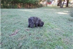 Picture of AKC brindle boy Very laid back and extremely smart