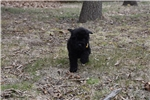 Picture of AKC BIG boy VERY loving solid black