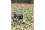 Picture of AKC Super Sweet Silver fawn brindle Crate Trained