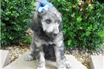 Picture of Full AKC Sable Phantom girl Ready in July