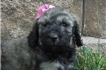 Picture of Full AKC Phantom Sable girl Ready in July