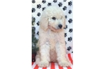Picture of a Standard Poodle Puppy