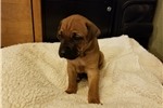 Picture of AKC Rhodesian Ridgeback Male