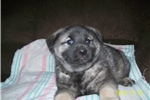 Picture of ADORABLE AKC REGISTERED NORWEGIAN ELKHOUND PUPPIES