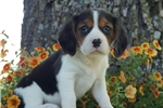 Picture of Beautiful Female Beaglier puppy