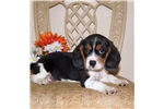 Picture of Adorable Beaglier male puppy