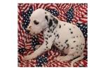 Picture of a Dalmatian Puppy
