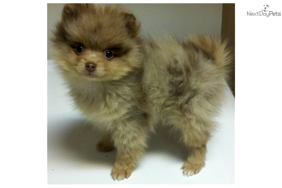 Toy Size Dogs : Pomeranian puppy for sale near high rockies colorado