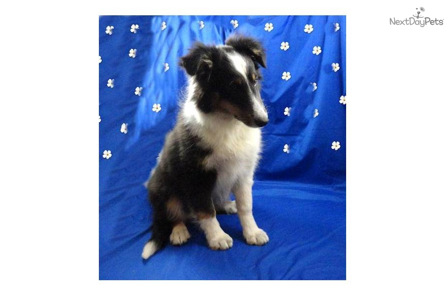 Meet Muria a cute Shetland Sheepdog - Sheltie puppy for sale for $485 ...