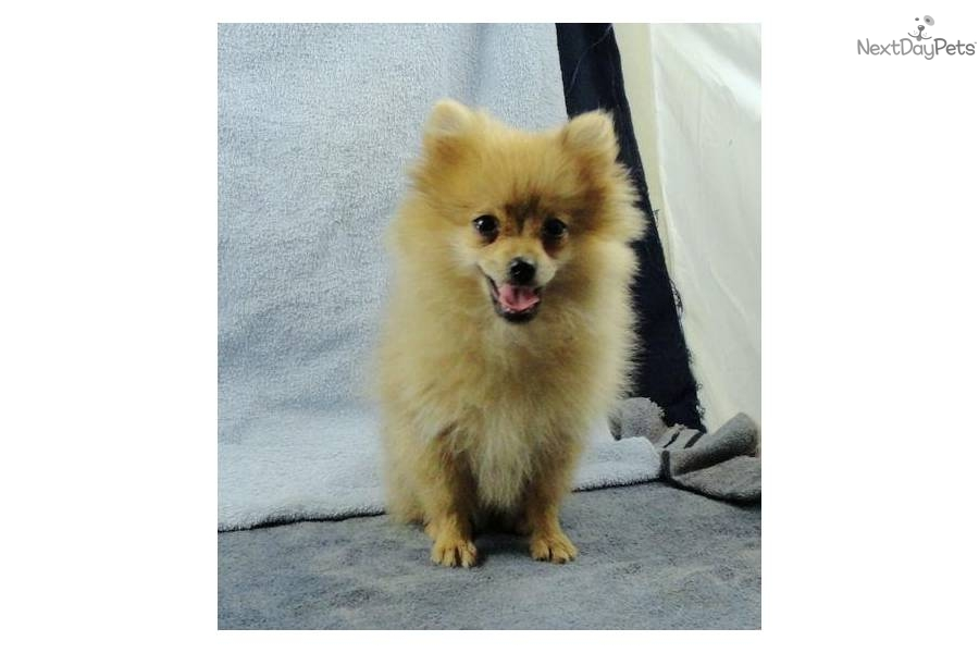 Daphne The Orange Sable Pomeranian Dogs Daily Puppy | Dog Breeds ...