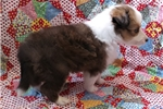 Picture of Karina, a small AKC sable/white female