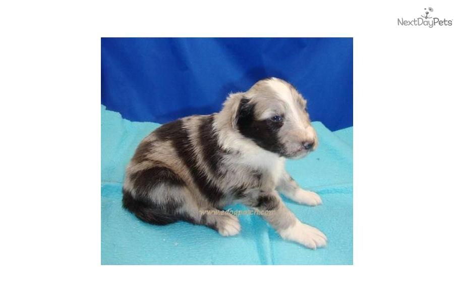 Sheltie Puppies For Sale In Minnesota Dogsnow Autos Post