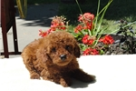 AKC * LOGAN * RARE MAHOGANY RED  TOY POODLE | Puppy at 16 weeks of age for sale