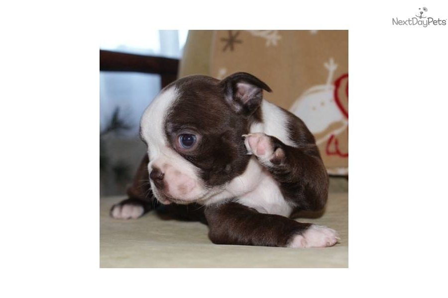 male-red-and-white-boston-terrier-puppydog-boston-terrier-puppy ...