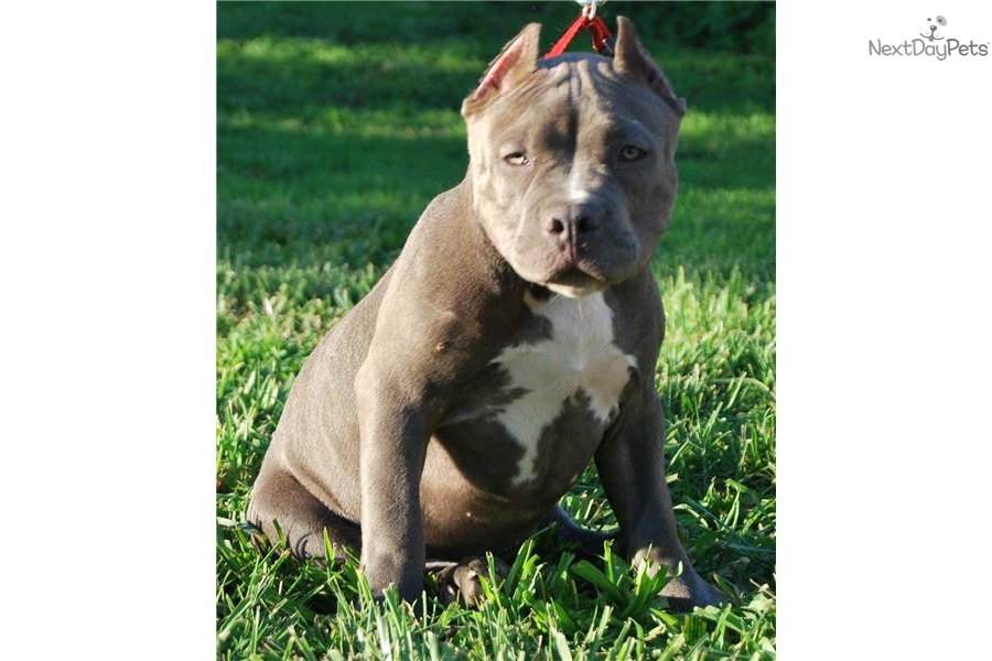 American Pit Bull Terrier puppy for sale near Washington DC | 38ec7341 ...