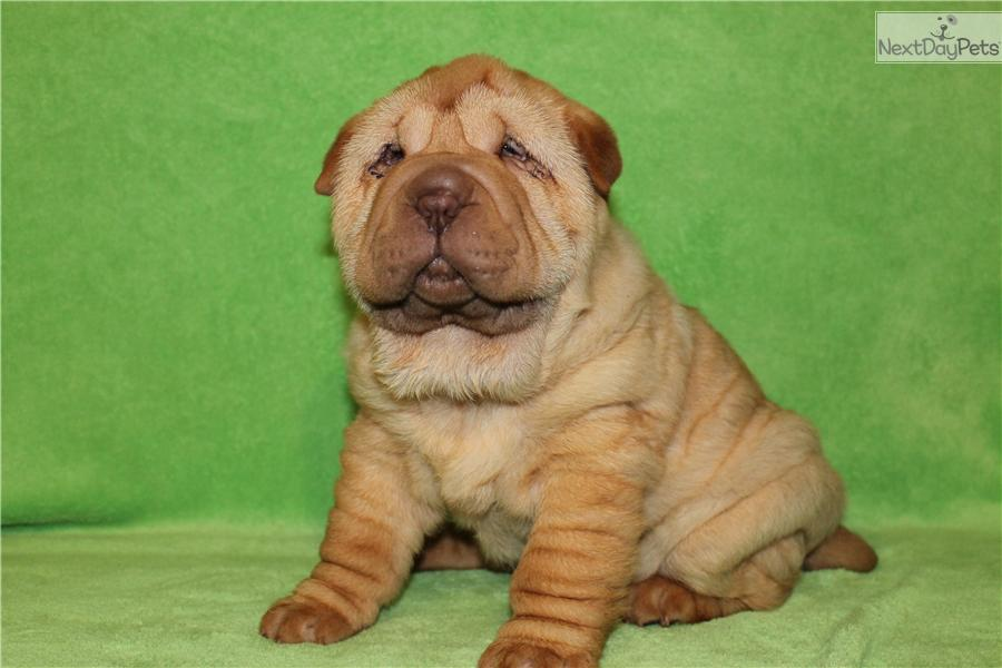 chinese shar pei puppies for sale standard mini and toy auto design tech. Black Bedroom Furniture Sets. Home Design Ideas