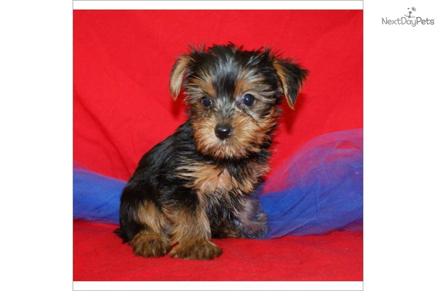 Yorkie Girl Dog Names | cute yorkie names images, yorkie