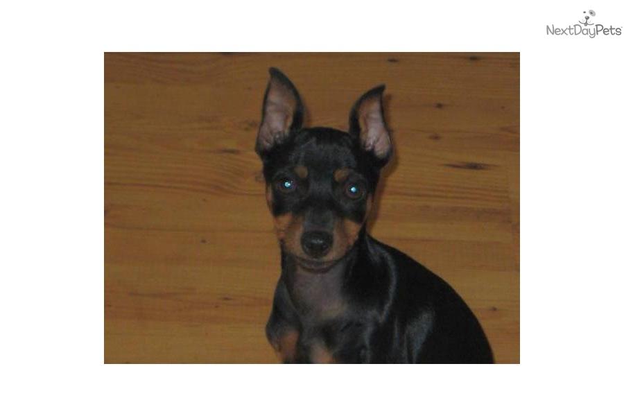 Miniature Pinscher Teacup Min Pin | Dog Breeds Picture