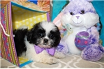 Picture of Handsome little male Shih tzu